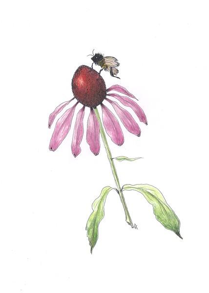 © Gail Goodrich Harwood<br>Coneflower and Bee (<i>Echinacea purpurea</i> &amp; <i>Anthophila</i>)<br>pen &amp; ink &amp; colored pencil