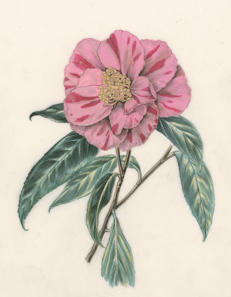 © Alice Tangerini<br>Sasanqua Camellia (<i>Camellia sasanqua</i>)<br>graphite and watercolor on drafting film
