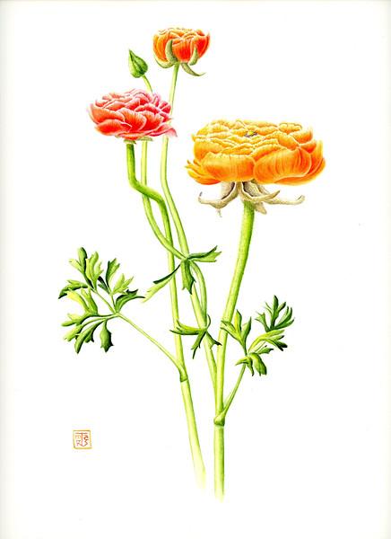 © Joan Maps Ducore<br>Buttercup Hybrid (<i>Ranunculus</i> x <i>hybrida</i>)<br>watercolor