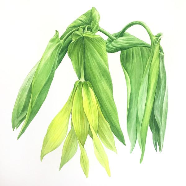 © Jamie (Jungmin) Kim<br>Merrybells (<i>Uvularia grandiflora</i>)<br>watercolor