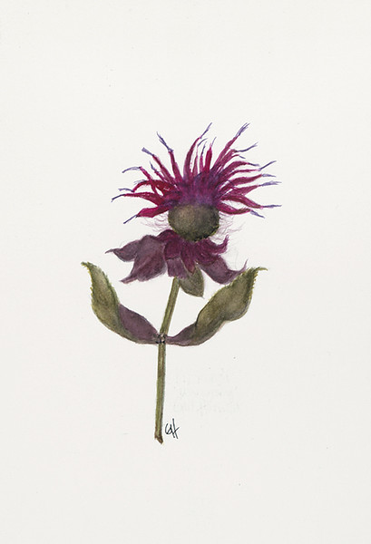 © Gail Goodrich Harwood<br>Bee Balm (<i>Monarda</i> sp.)<br>watercolor