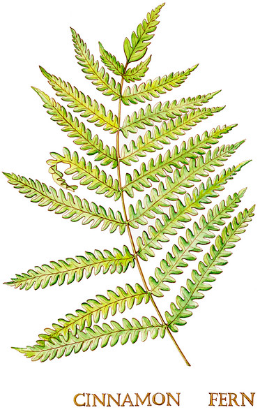 © Tina Thieme Brown<br>Cinnamon Fern (<i>Osmundastrum cinnamomeum</i>)<br>watercolor