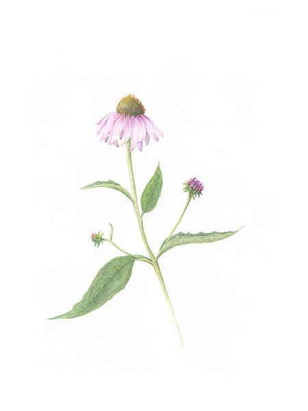 © Ann Lesciotto<br>Purple Coneflower (<i>Echinacea purpurea</i>)<br>watercolor