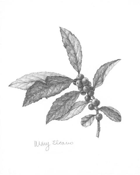© Mary Elcano<br>Winterberry Holly I (<i>Ilex verticillata</i>)<br>graphite