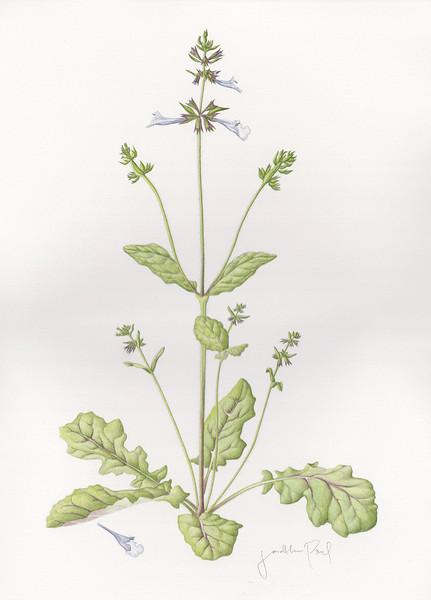 © Jonathan Paul<br>Lyreleaf Sage (<i>Salvia lyrata</i>)<br>watercolor