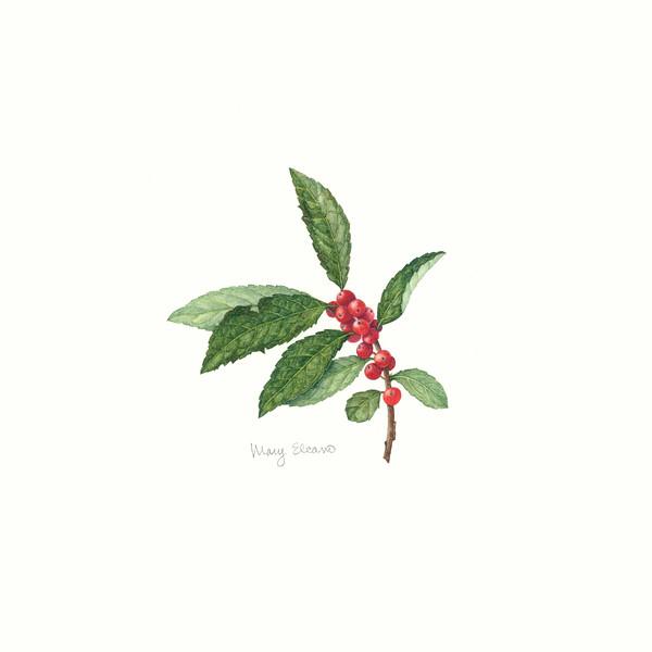 © Mary Elcano<br>Winterberry Holly II (<i>Ilex verticillata</i>)<br>watercolor
