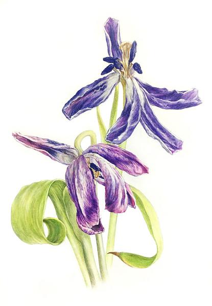 © Jamie (Jungmin) Kim<br>Tulip (<i>Tulipa</i> x hybrid)<br>colored pencil