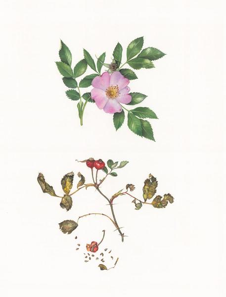 © Margaret Farr<br>Virginia Rose (<i>Rosa virginiana</i>)<br>watercolor