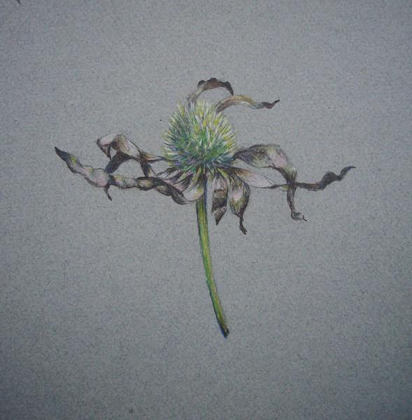 © Carol Beach<br>Dying Coneflower (<i>Echinacea purpurea</i>)<br>colored pencil