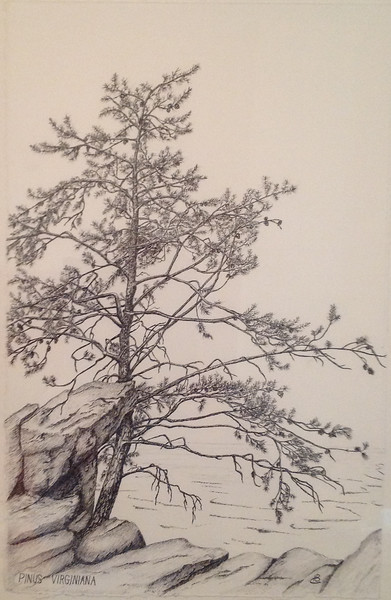 © Heidi Copiz<br>Along the Potomac (<i>Pinus virginiana</i>)<br>pen &amp; ink