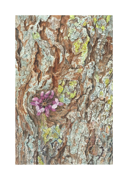 © Lee D'Zmura<br>Redbud (<i>Cercis canadensis</i>)<br>watercolor