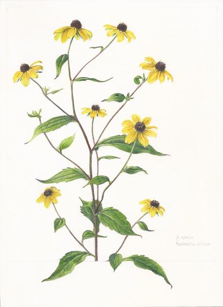 © Anne Clippinger<br>Brown-Eyed Susan (<i>Rudbeckia triloba</i>)<br>colored pencil