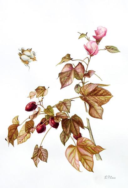 © Elena Maza-Borkland<br>Levant Cotton (<i>Gossypium herbaceum</i> 'Nigra')<br>watercolor