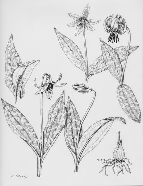 © Karen Coleman<br>Yellow Trout Lily (<i>Erythronium americanum</i>)<br>pen &amp; ink