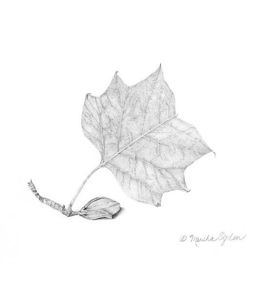 © Marsha Ogden<br>Tulip Poplar (<i>Liriodendron tulipifera</i>)<br>watercolor