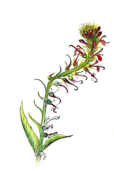 © Tina Thieme Brown<br>Cardinal Flower (<i>Lobelia cardinalis</i>)<br>watercolor with pen &amp; ink