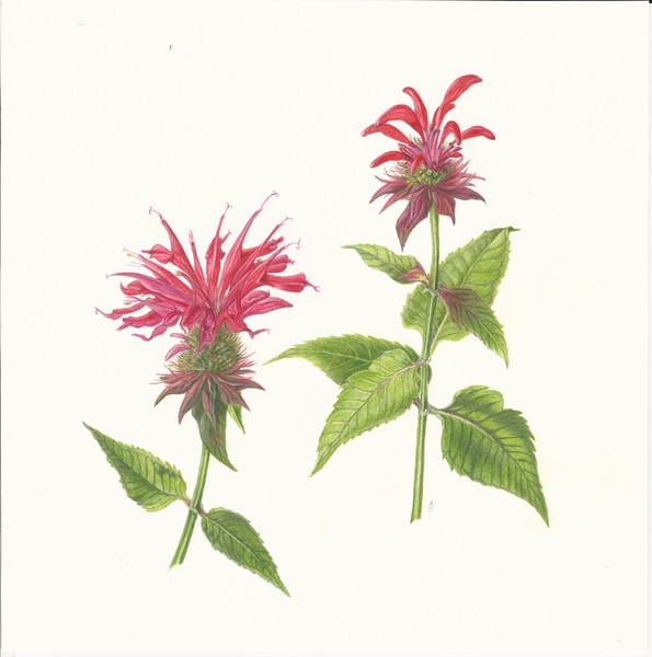© Anne Clippinger<br>Bee Balm (<i>Monarda didyma</i>)<br>colored pencil