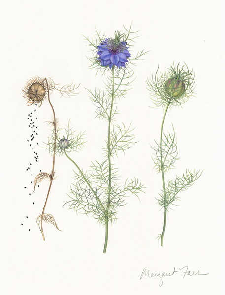 © Margaret Farr<br>Love-in-a-Mist (<i>Nigella damascena</i>)<br>watercolor