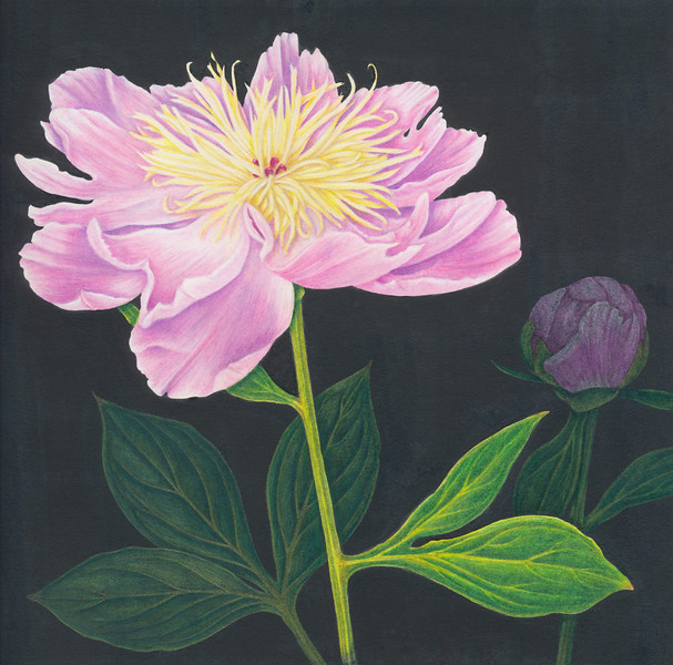 © Karen Coleman<br>Pink Peony (<i>Paeonia lactiflora</i>)<br>colored pencil &amp; India ink