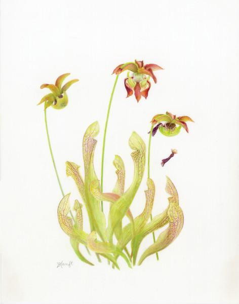 © Barbara Hanft<br>Pitcher Plant Hybrid (<i>Sarracenia</i> x <i>hybrida</i>)<br>colored pencil on film