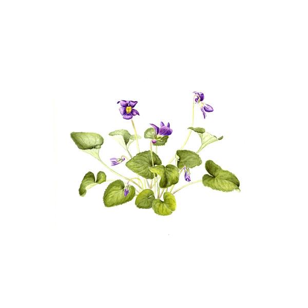 © Joan Maps Ducore<br>Wild Violets (<i>Viola papilionacea</i>)<br>watercolor