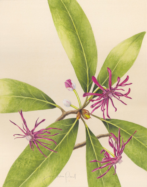 © Jonathan Paul<br>Purple Anise (<i>Illicium floridanum</i>)<br>watercolor