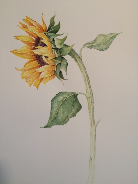 © Ann Lesciotto<br>Sunflower (<i>Helianthus annuus</i>)<br>watercolor