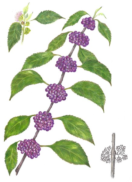 © Gail Goodrich Harwood<br>American Beautyberry: Serious Medicine (<i>Callicarpa americana</i>)<br>colored pencil