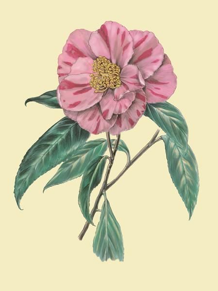 © Alice Tangerini<br>Sasanqua Camellia (<i>Camellia sasanqua</i>)<br>graphite and watercolor on drafting film