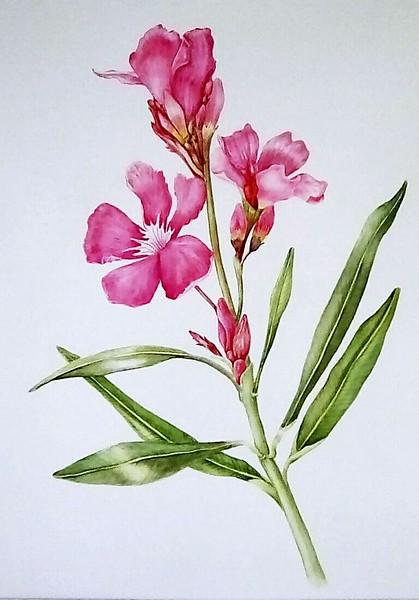 © Paula Tobenfeld<br>Oleander (<i>Nerium oleander</i>)<br>watercolor