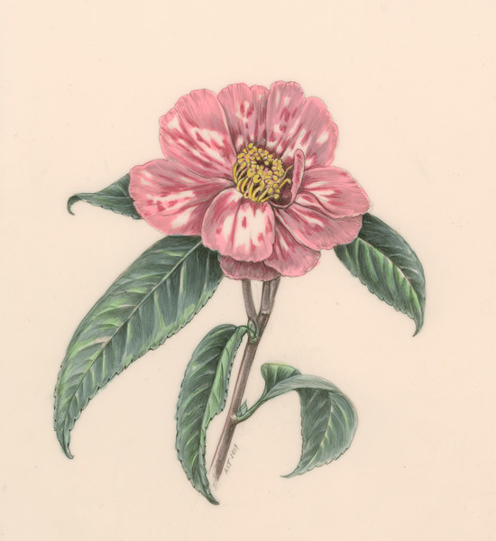 © Alice Tangerini<br>Camellia (<i>Camellia japonica</i>)<br>graphite and watercolor on drafting film