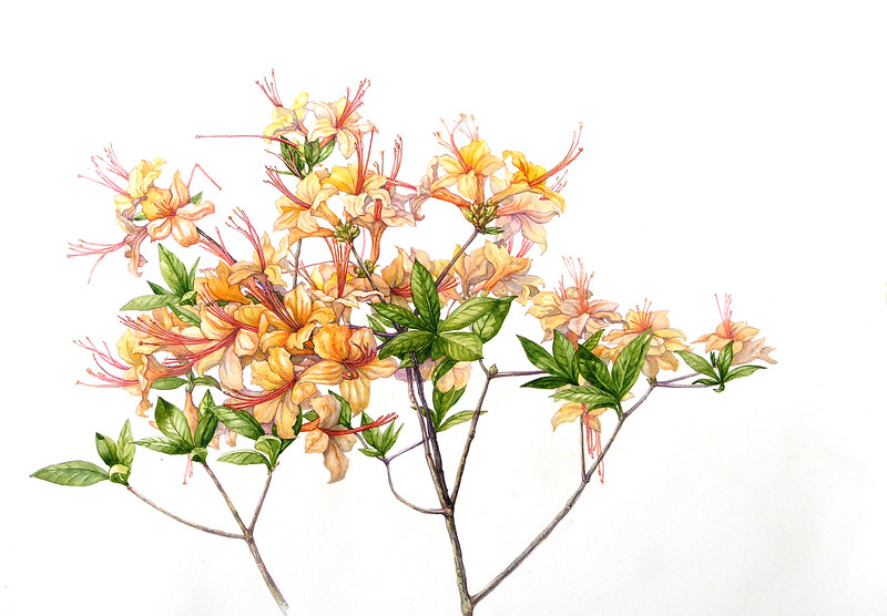 © Elena Maza-Borkland<br>Flame Azalea (<i>Rhododendron calendulaceum</i>)<br>watercolor and colored pencil