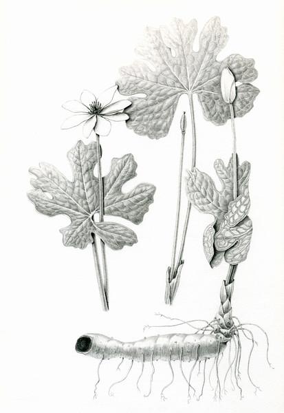 © Karen Coleman<br>Bloodroot (<i>Sanguinaria canadensis</i>)<br>graphite