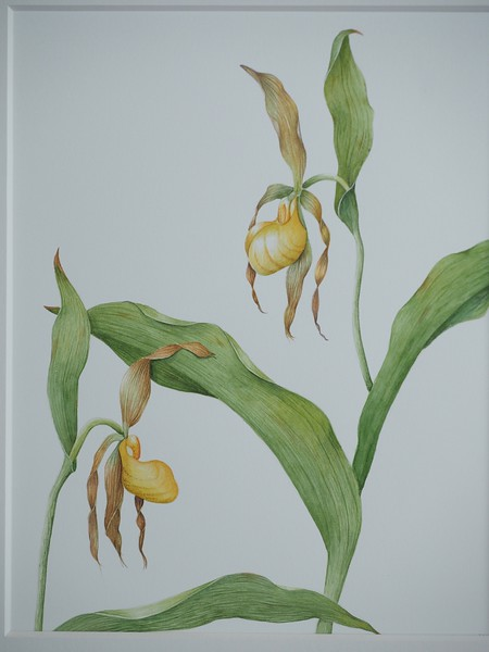 © Ann Lesciotto<br>Yellow Lady's Slipper Orchid (<i>Cypripedium pubescens</i>)<br>watercolor