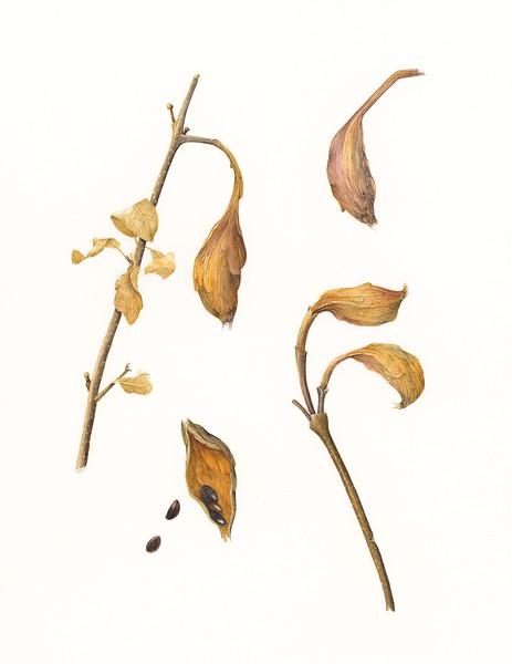© Ann Lesciotto<br>Carolina Allspice Seed Pods (<i>Calycanthus floridus</i>)<br>watercolor
