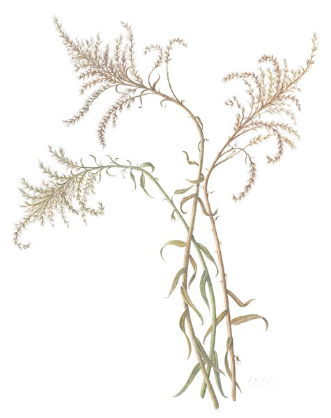 © Cheryl Exley<br>Winter Goldenrod (<i>Solidago</i> sp.)<br>colored pencil