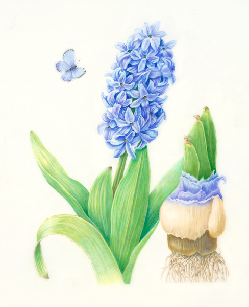 © Karen Coleman<br>Bleu de Printemps (<i>Hyacinthus orientalis</i>)<br>colored pencil