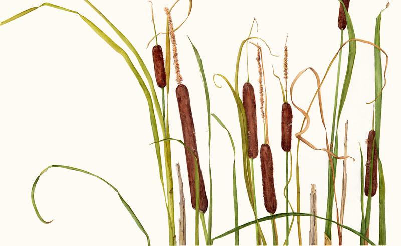 © Marsha Ogden<br>Cattails (<i>Typha latifolia</i>)<br>watercolor