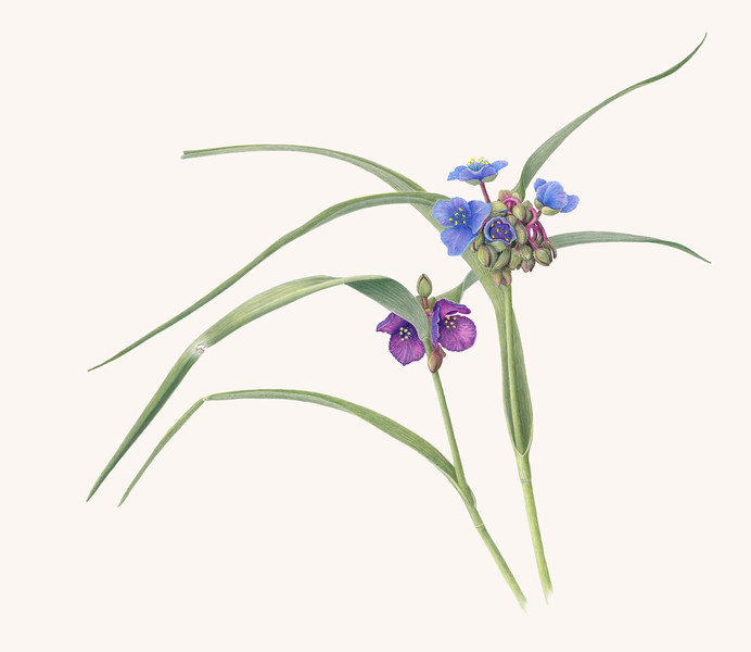 © Janice Browne<br>Virginia Spiderwort (<i>Tradescantia virginiana</i>)<br>colored pencil on drafting film