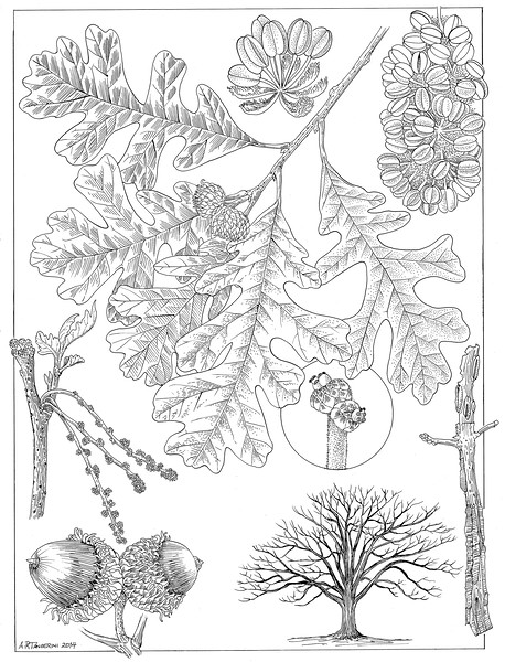 © Alice Tangerini<br>Burr Oak (<i>Quercus macrocarpa</i>)<br>pen &amp; ink on drafting film