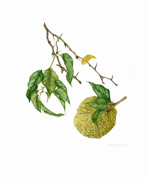 © Marsha Ogden<br>Osage Orange (<i>Maclura pomifera</i>)<br>watercolor