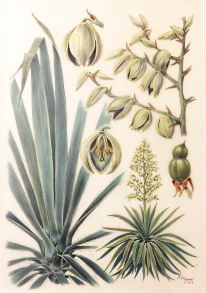 © Alice Tangerini<br>Yucca (<i>Yucca filamentosa</i>)<br>graphite and watercolor on drafting film