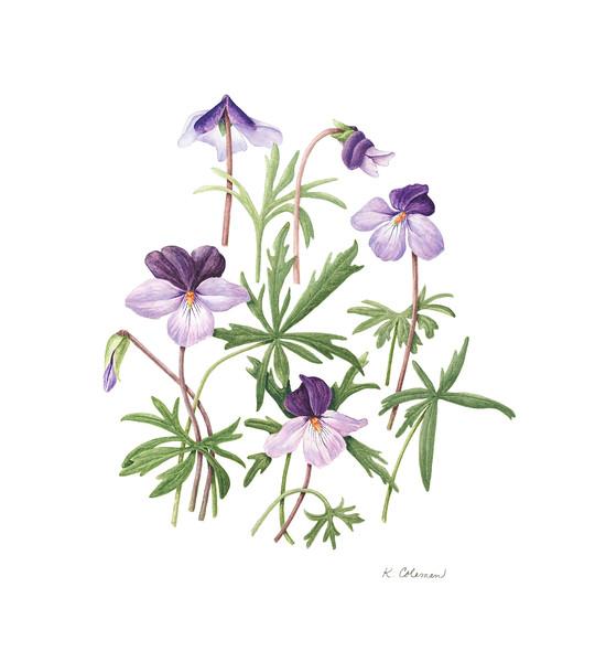 © Karen Coleman<br>Birdfoot Violets (<i>Viola pedata</i>)<br>watercolor