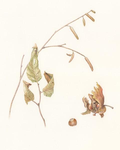 © Ann Lesciotto<br>Hazelnut (<i>Corylus americana</i>)<br>watercolor