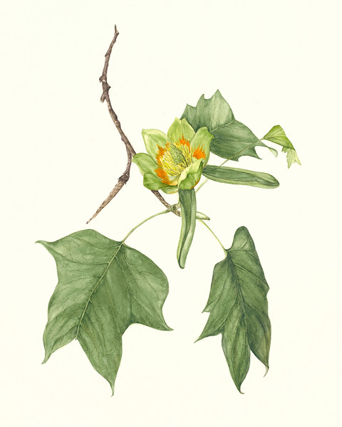 © Marsha Ogden<br>Tulip Tree (<i>Liriodendron tulipifera</i>)<br>watercolor