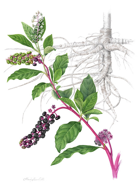 © Mari Sawhill<br>Pokeweed (<i>Phytolacca Americana</i>)<br>watercolor