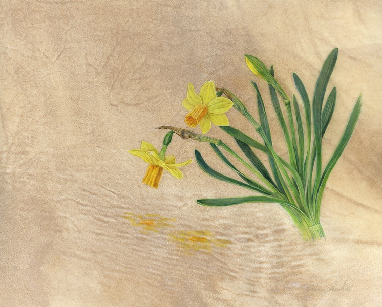 © Mari Sawhill<br>Narcissus 'Tête-à-Tête' (<i>Narcissus</i> hybrid)<br>watercolor on vellum