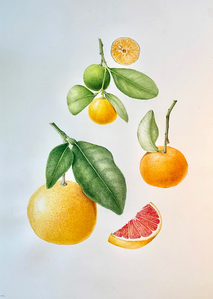 © Esther Carpi<br>Citrus Trilogy (<i>Citrus calamansi</i> 'Filipo Lime', <i>Citrus tangerine</i> 'Tangerine', <i>Citrus paradise</i> 'Pink Grapefruit')<br>watercolor and colored pencil