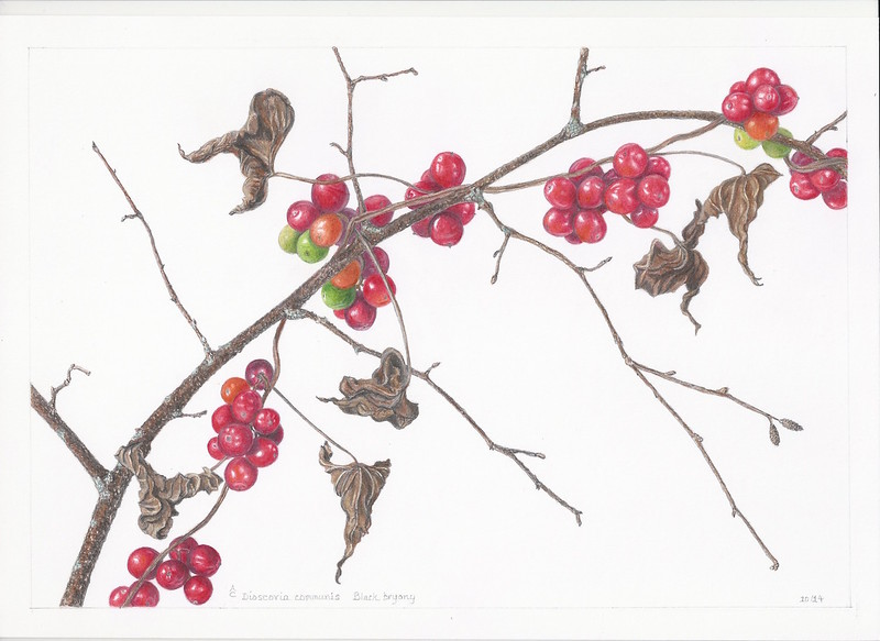 © Anne Clippinger<br>Black Bryony Berries in Fall (<i>Dioscorea communis</i>)<br>colored pencil