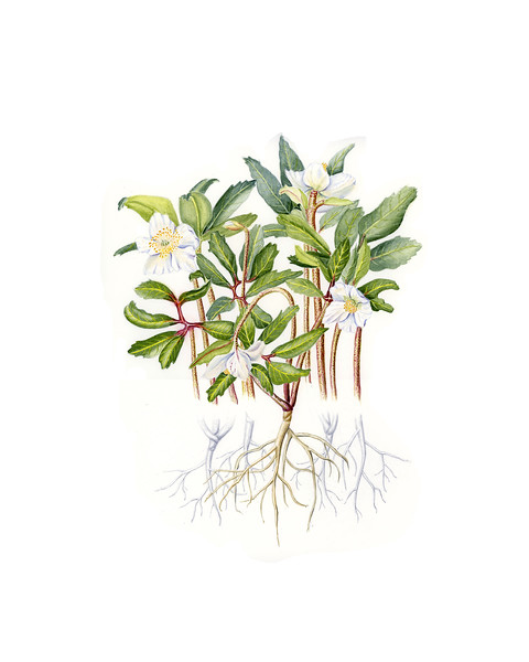 © Joan Maps Ducore<br>Christmas Rose (<i>Helleborus</i> sp.)<br>watercolor and graphite